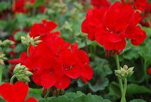 balkon virágok gondozása