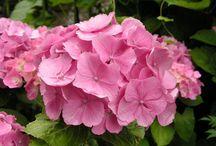 Garten Pflanzen / Hortensien