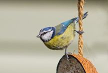 Blue Tits Galore / A collection of one of my favourite garden bird the Blue Tit.