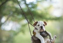 English bulldog / by Samantha van Brakel