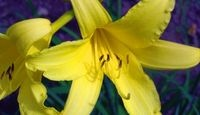 Caring For Daylilies