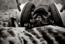 Pugs / by Leticia Schinestsck