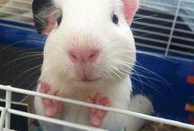 Guinea Pigs! ❤