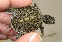 map turtle hybrids