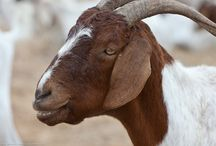 GOATS / by The Sustainable Life