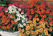 Flowers Annuals