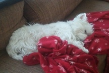 West Highland White Terriers / by Mrs Thomas