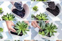 socculente