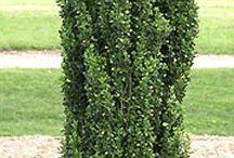 narrow garden trees zone 5