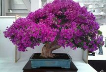 Bonsai Bougaivillea