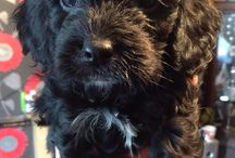 Cavapoo / Cavapoo puppy. Mum is a black King Charles cavalier and dad is a black and white Parti poodle.