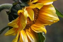 ~Sunflowers~ / ~These are some images of my favorite flower, the sunflower.~