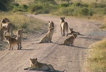 Lion / Talala gir