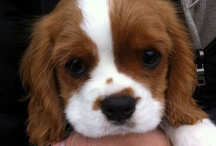 I really want this king Charles dog
