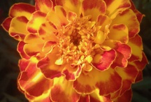 All Marigold Flowers / Marigolds - There's a lot of varieties of Marigolds and new ones are introduced each year. Marigolds vary in color from yellow, to gold, orange and even deep red. #marigolds #gardening / by Darrell Weaver