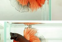 Fauna - Fish - петушки, бойцовые рыбки