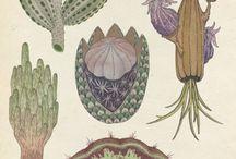 Cactaceae & Agavaceae