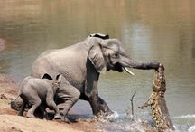 Elephants, Hippos & Rhinos / All about elephants, hippos and rhinos.  Adorable pictures, interesting facts and everything in between!