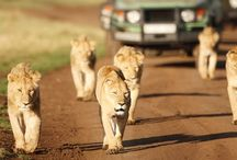 Safaris