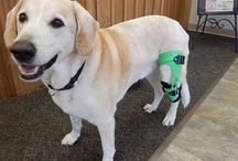 Knee Braces for Dogs / My Pet's Brace fabricates custom knee braces to help dogs walk comfortably again after an ACL/CCL tear.  Knee braces from My Pet's Brace are an effective alternative to surgery that reduce the dog's pain and help them limp less while they heal.