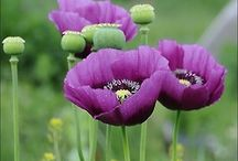 Flowers - poppies