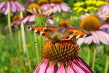 Vlindertuin / Help mee om de vlinders te beschermen en laat vlinderplanten in je tuin of balkon groeien. Ontdek de top 10 vlinderplanten! http://bit.ly/1nA7NA8