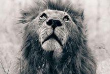 Beleza Selvagem - Leões e Lobos :)
