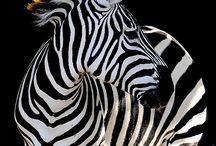 ❤ zebra