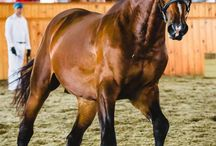 belga horses