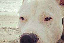 Dogo / Foto