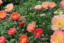 BLOOM | Herbaceous Very Early Coral / Coral Peonies are among the earliest peonies to bloom. Their bloom is prolific and beautiful. Coral peonies are great planted en masse!