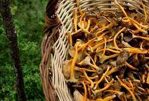 Pilze sammeln, Kräuter und Natur