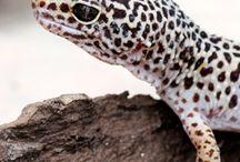cool looking geckos