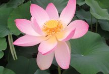 Kenilworth Aquatic Gardens / Very few visitors discover DC's aquatic gardens.  Famous for its water lily and lotus blossoms in the summer, and its Water LIly and Lotus Cultural Festival.  This year it's July 19 from 10-4..