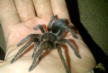 Our Tarantulas and set ups / http://exoticpetcare.weebly.com/tarantula-care-guidelines.html