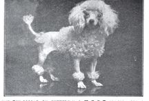 notable poodle individuals