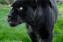 black cats / so majestic and elegant just something about a black cat