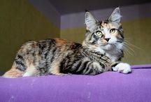 Maine Coon - Black Torty Tabby Mackerel & White / Maine Coon, #black #torti #tabby #mackerel #White #cats.