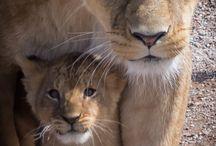 Lioness tattoo