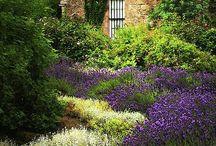 Lavendeli