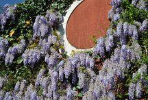 Il Blu / Le piante del nostro giardino dalle fioriture in blu e sue tonalità
