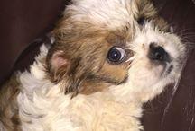 Puppy copper