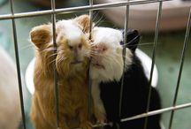 Guinea Pigs / Cute, Fluffy, cuddly … Guinea Pigs
