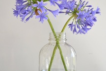 FLOWER : Agapanthus