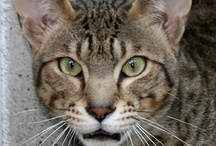 My Savannah cats and kittens I have breed