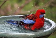 Bathing Birds / Birds love water! Whether it's a man-made or natural bird bath, they don't really care.