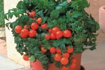 Tomato/Lemon pot