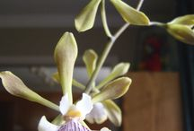 Encyclia Orchids / Occurs in Florida, the Caribbean, Mexico, and other regions of the tropical Americas.