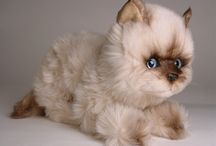 Seal Point Himalayan Cats