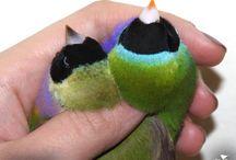 Gouldians / Gouldian finches